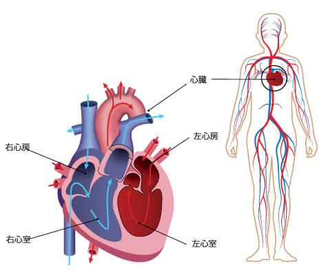 1.心臓弁膜の働き | 弁膜症の治...
